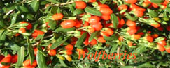 Goji Berries, Wolfberries